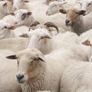 close up van een aantal schapen van de schaapskudde utrechtse heuvelrug