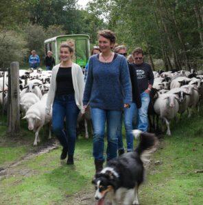 een groep gaat op pad met de schaapskudde, 2 vrouwen lopen voorop met 1 van de honden, de rest van de groep en de schaapskudde volgt, ze lopen in het duingebied van de kennemerduinen