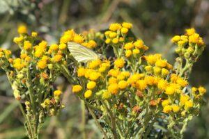 vlinder zit op gele bloemen in duingebied
