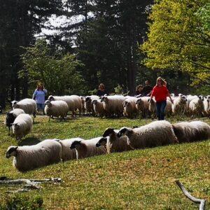 deel van de groep komt met de kudde aanlopen in de workshop schapendrijven, ze staan in groene omgeving en hebben er plezier in
