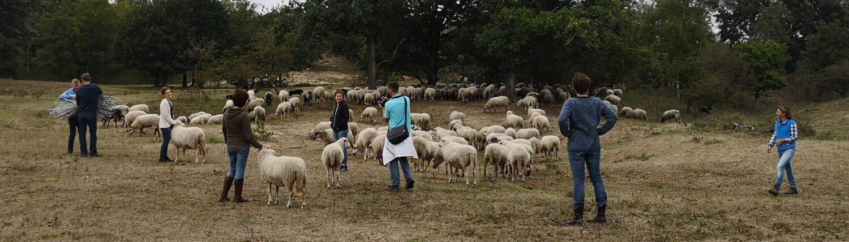 foto is een momentopname uit de workshop schapendrijven, je ziet een groep rond de schaapskudde staan, enkelen aaien de schapen, een ander neemt een foto, een ander kijkt toe en twee personen zijn de netten van het raster aan het samenbinden, de groep staat in het duingebied op een weidse vlakte