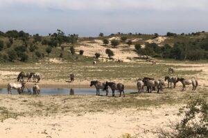 weidse foto met groep knoinkspaarden die deels in het water deels in het zand staan in de duinen van het nationaal park zuid kennemerland